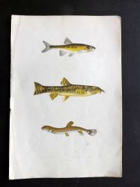 Couch 1867 Antique Fish Print. Minnow, Loach, Spined Loach